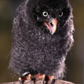 Great Grey Owl (5 weeks old)