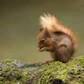 Red squirrel II