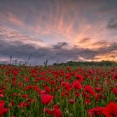 Red Poppies Sunrise