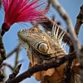 An Iguana In A Shaving Brush Tree