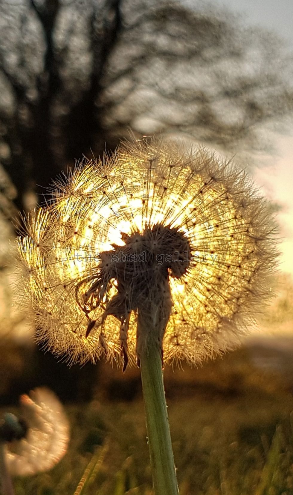 Dandylion at sunset