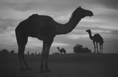 Three camels in the Thar desert