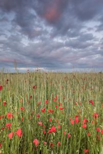 Poppies under a stormy sky 1