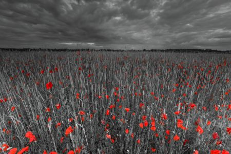Poppies under a stormy sky