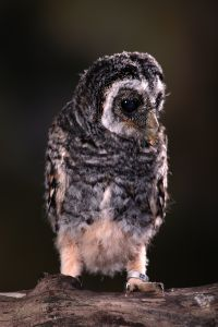 Chaco Owl (3 weeks old)