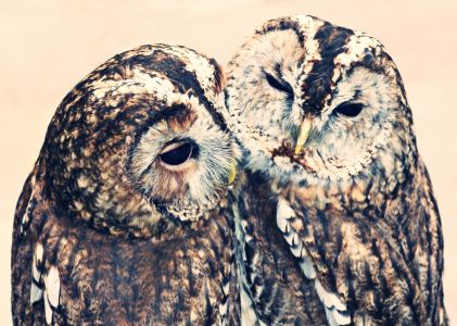 Owl Friends