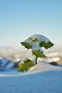 Holly Sprig in the snow
