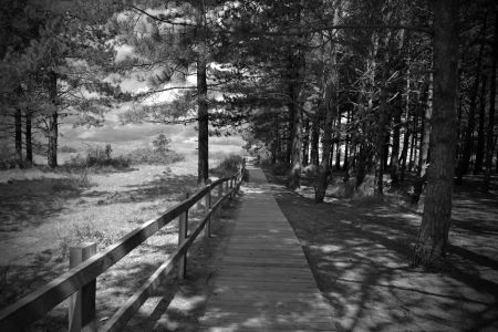 a path through the pines