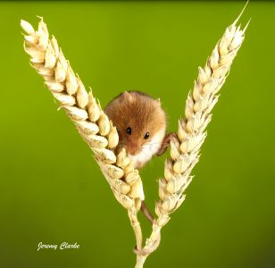 Mouse on crops