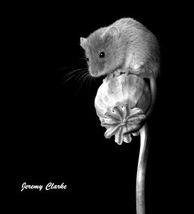 Monochrome mouse