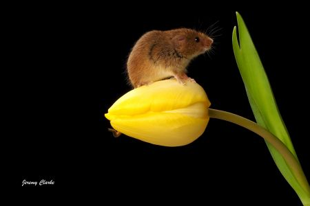 Mouse on yellow tulip