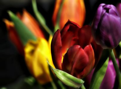 Tulips a colour explosion