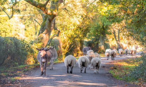 New Forest traffic jam