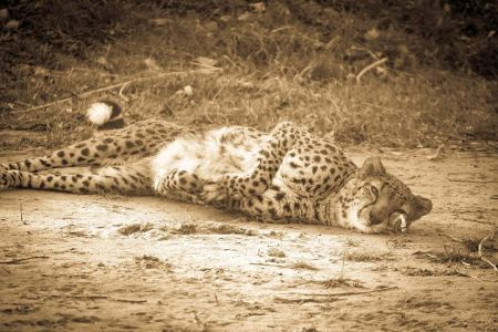 Captive sunbathing cheetah