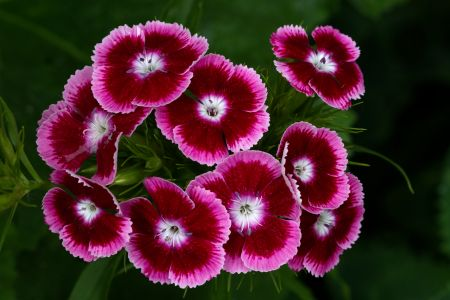 Sweet William Pink and Crimson