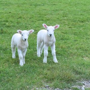 Pink and white Spring lambs