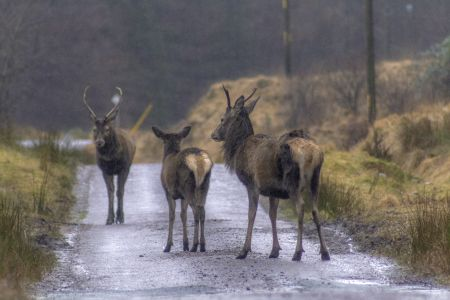 Red deer Scottish highlands