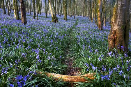 Bluebell Path