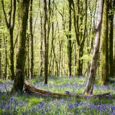 Bluebell Heaven