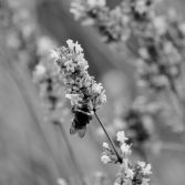 Bee in black & white