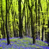 Bluebells in Hooke Woods