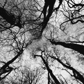 5 trees reaching  skywards