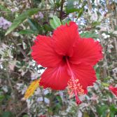 Red Flower of Pantavi