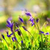 Bluebells in the wind