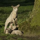 Lambs sleeping and playing