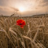 Single red poppy at sunrise