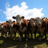 curious Herefords