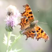 Comma Butterfly on Thistles