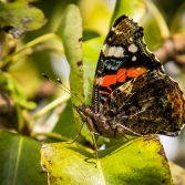 Butterfly on the Pear Tree