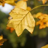 Autumn leaves backlit by the sun