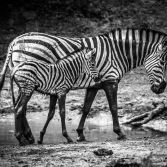 Zebra Mother and Calf