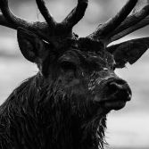 Portrait of a Stag- Monochrome