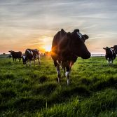 Sunset with posing cow
