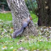 Grey squirrel pose on a tree