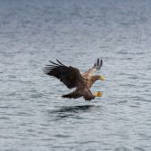 White Tailed Eagle - 1