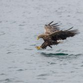 White Tailed Eagle - 2