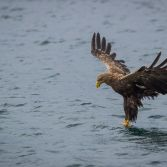White Tailed Eagle - 3