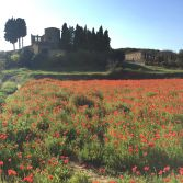 Poppies in the field of dreams