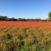 Poppies in the field of dreams II
