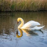 Swan's reflection
