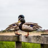 Ducks on railings