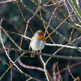 Robin in morning light
