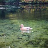 Small duck swimming on lake