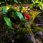 Scarlet Elfcup amongst the moss