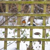 Snow on fence and Robin