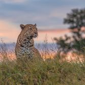 Leopard Sunrise